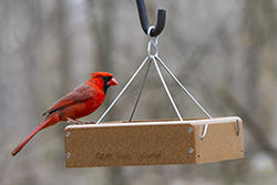 Northern Cardinal on a Tray Feeder